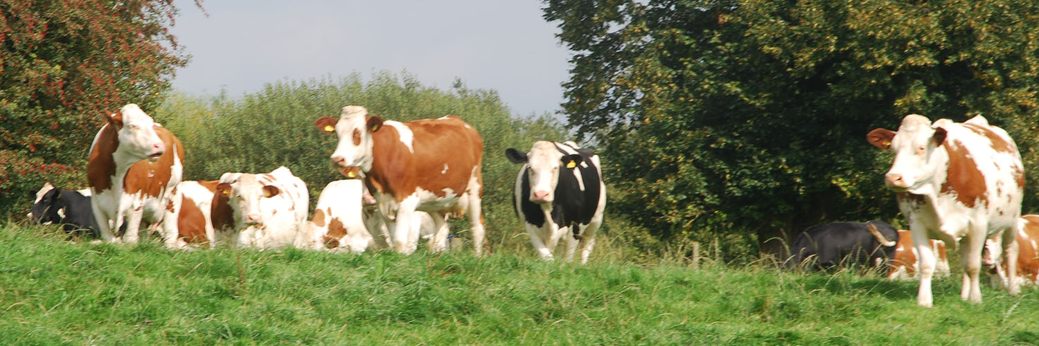 Montbeliarde Cows