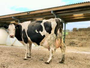 100t cow from pilkingtons